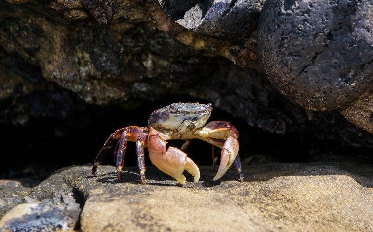 Line Shore Crab
